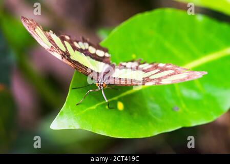 Butteryfly in Amazon Rainforest, Coca, Ecuador, South America - Stock Photo