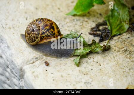 Snail (Helix engaddensis) crawls on a rock. Helix engaddensis is a species of snail common in the Levant, both in Mediterranean, desert and montane cl - Stock Photo