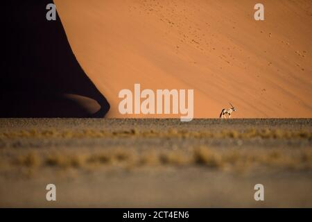 A lone oryx or Gemsbok antelope in the famous sand dunes of Sossusvlei, Hardap region, Namibia.