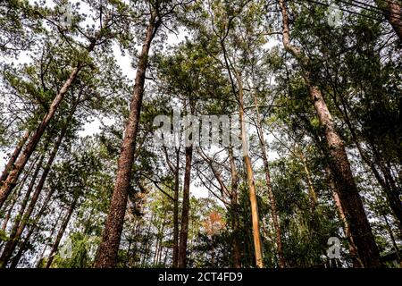 Tall cluster of pine trees background