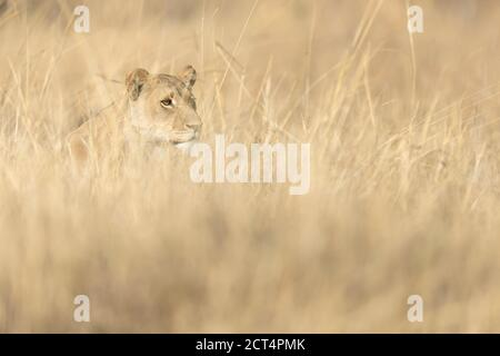 A lioness stalks prey in long grass in Chobe National Park, Botswana.