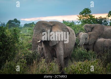 African Elephant (Loxodonta africana) at Sosian Ranch, Laikipia County, Kenya