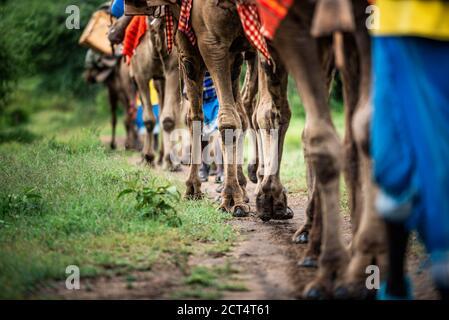 Camel safari at Sosian Ranch, Laikipia County, Kenya
