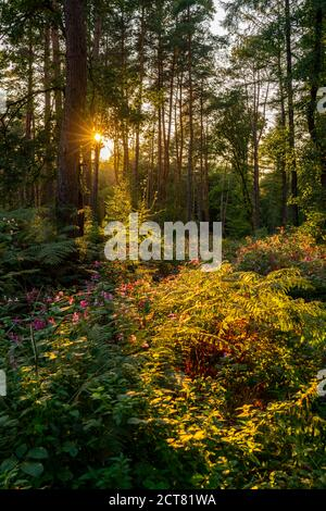 The nature reserve Kirchheller Heide, flowering Indian balsam plant, near Bottrop, NRW, Germany