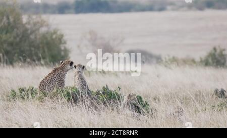 a cheetah mother and cub watch for prey on the savanna of masai mara national reserve in kenya, africa Stock Photo