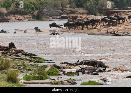 Africa, Kenya, Maasai Mara National Reserve, Blue or Common Wildebeest (Connochaetes taurinus), during migration, wildebeest crossing the Mara River, many dead wildebeest at front