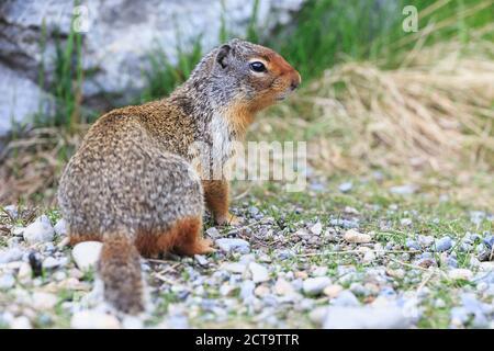 Canada, Alberta, Rocky Mountains, Jasper National Park, Banff Nationalpark, Columbian ground squirrel (Urocitellus columbianus) - Stock Photo