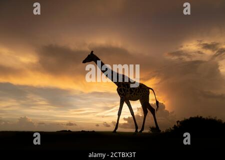Isolated giraffe (Giraffa camelopardalis) almost silhouetted walking at twilight with dramatic clouds in a sunset sky. - Stock Photo
