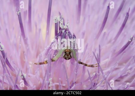 Crab Spider, Mecaphesa sp., lurking in Tall Thistle, Cirsium altissimum Stock Photo