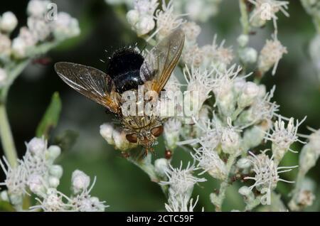 Tachinid Fly, Family Tachinidae, foraging on Lateflowering Thoroughwort, Eupatorium serotinum - Stock Photo