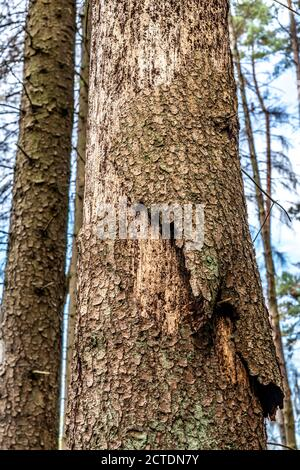Forest dieback in the Arnsberg Forest, northern Sauerland, dead spruce trees, traces of the bark beetle, traces of printers, felled deadwood, NRW, Ger Stock Photo