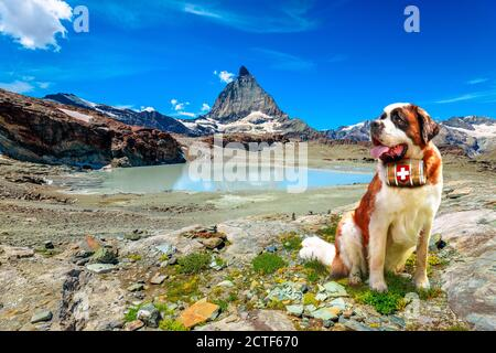 Saint Bernard rescue dog with keg of brandy in Alpine meadows around Matterhorn Peak. Mount Cervin of Swiss Alps reflected in glacier lake by - Stock Photo