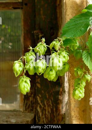 hops with ripe cones in summer - Stock Photo