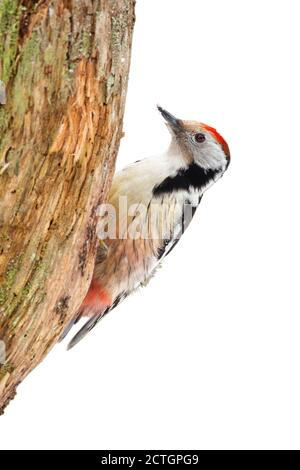 Middle spotted woodpecker sitting on tree cut out on blank. - Stock Photo