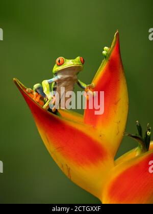 Agalychnis callidryas, known as the red-eyed treefrog, is an arboreal hylid native to Neotropical rainforests. Taken in Costa Rica