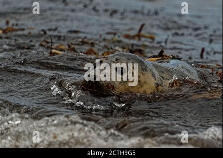 Grey Seal (Halichoerus grypus) Immature entering the sea through surf. - Stock Photo