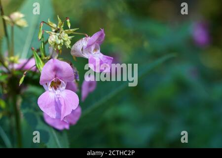 Pink flowering balsam at the edge