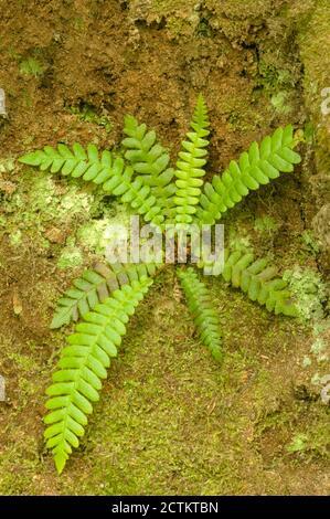 Makah Indian Reservation near Neah Bay, Washington, USA.  Maidenhair fern growing on a rock face on Cape Flattery trail. - Stock Photo