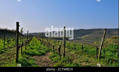 Flat vineyard in evening sun with growing grass in between and terraced hills in background on a sunny day in Kaiserstuhl, Baden-Wuerttemberg, Germany - Stock Photo