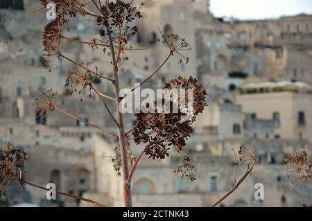 emotional caption of UNESCO site Sassi of Matera urban landscape and  wild dry brown flowers in foreground