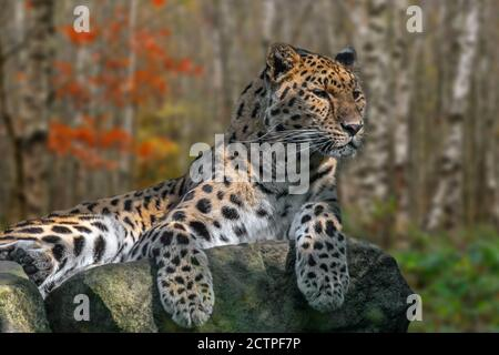 Amur leopard (Panthera pardus orientalis) resting on rock in birch forest in autumn, native to southeastern Russia and northern China - Stock Photo