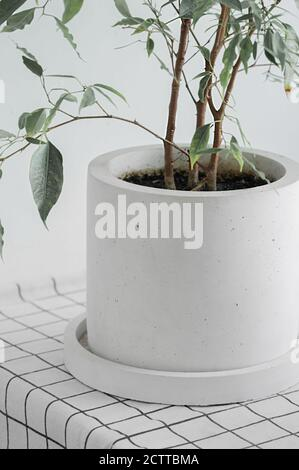 green home plant in stylish minimalistic concrete pot on white checkered fabric, vertical, selective focus
