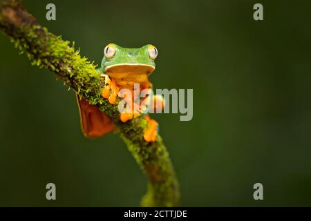 Cruziohyla calcarifer, the splendid leaf frog or splendid treefrog, is a tree frog of the family Phyllomedusidae described in 1902 by George Albert Bo Stock Photo