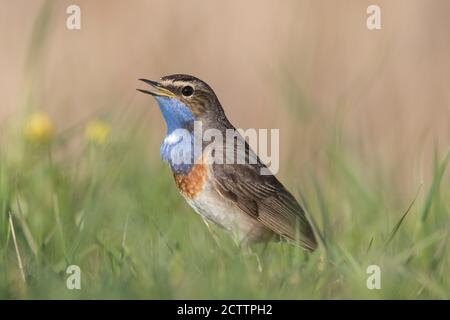 White-spotted Bluethroat (Luscinia svecica cyanecula). Adult male singing while standing on the ground.
