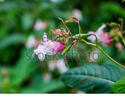 Impatiens glandulifera (Himalayan balsam) in summer Stock Photo