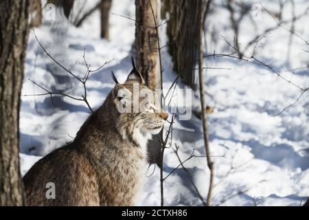 Lynx sits in the winter forest on a sunny day close-up. Side view. Nature protection or hunting concept. - Stock Photo