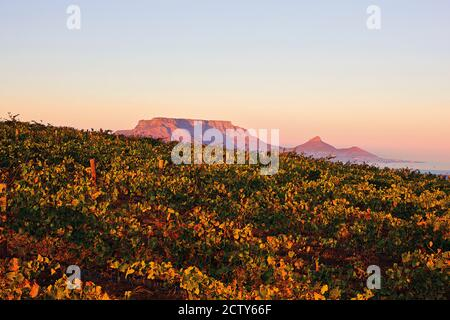 View from Durbanville vineyards of Table Mountain, Cape Town, South Africa