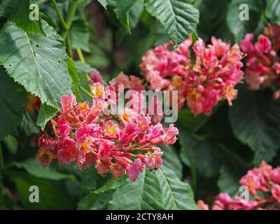 spectacular bright red yellow clustered flowers of Red Horse Chestnut tree (Aesculus x carnea - hybrid of A. hippocastanum & A. pavia) - green leaves - Stock Photo
