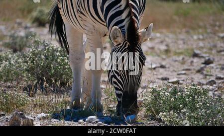 Closeup front view of single striped plains zebra (equus quagga, also common zebra) grazing on bush land in Etosha National Park, Namibia.