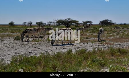 Small herd of striped plains zebras (equus quagga, common zebra) grazing on grass land in midday heat in Etosha National Park, Namibia, Africa.