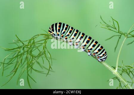 Larva of Old World Swallowtail butterfly (Papilio machaon)  feeding on fennel (Foeniculum vulgare), Switzerland