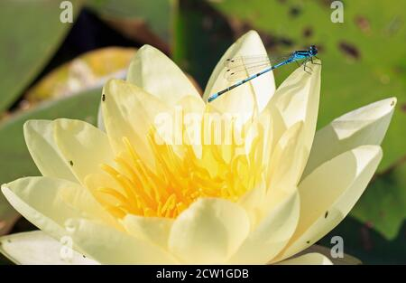 Common Blue Male Damsel Fly (Enallagma cyathigerum) resting on the edge of a creamy yellow waterlily - Stock Photo