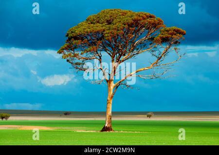 Eucalyptus Salmon Gum Tree - Western Australia - Stock Photo