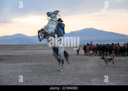 Cowboy on rearing horse, wild horses . Horses - Yilki Atlari live in Cappadocia and Kayseri, in Central Anatolian region of Turkey. - Stock Photo