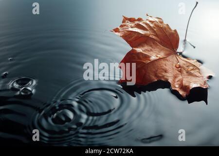 Fallen maple leave on watter puddle. Fall seasonal specific. Leave in rain. Stock Photo