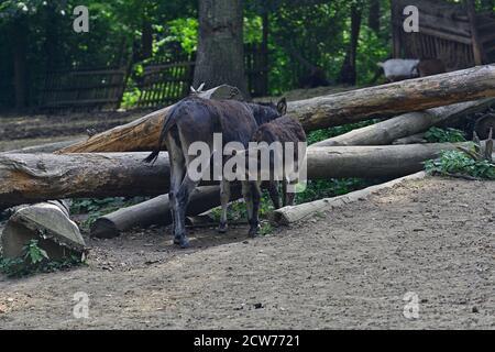 Ernstbrunn, Lower Austria, Austria. Domestic donkey (Equus asinus asinus) in the enclosure - Stock Photo