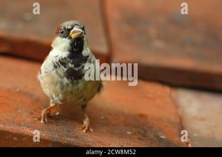 Male House Sparrow (Passer Domesticus) perched on red clay roof tiles in urban environment. August 2020.