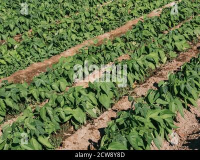 sowing small bean plants, fifteen days old, sunny day - Stock Photo