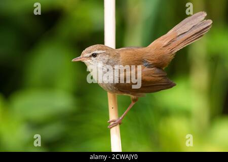 Cetti's Warbler (Cettia cetti), adult displaying from a reed, Campania, Italy - Stock Photo