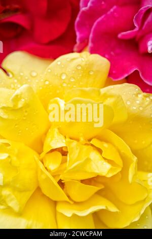 Red pink and yellow roses vertical background. - Stock Photo