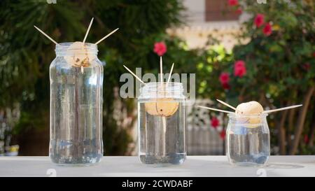Three Avocado seeds growing roots in glass bottles of various size in garden - Stock Photo