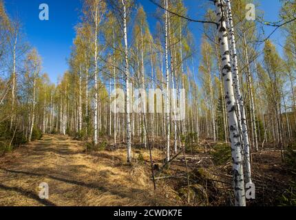 European growing young birch forest  ( Betula ) and logging road at Spring , Finland Stock Photo