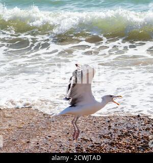 Seagull squawking - Stock Photo