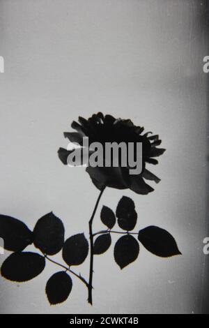 Fine 1970s vintage black white photography of a black rose, black magic, barkarole, black beauty, Tuscany superb, black jade, baccara, black velvet. - Stock Photo