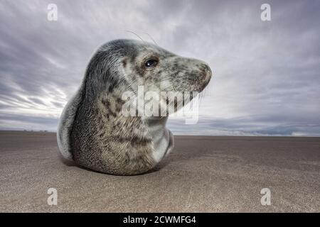 Grey Seal (Halichoerus grypus) pup on beach at Donna Nook, Lincolnshire, England - Stock Photo
