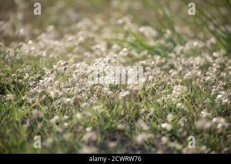 Common wild oat on meadow in the summer time - Stock Photo